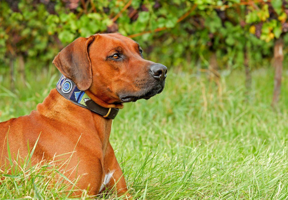 rhodesian ridgeback dog with collar